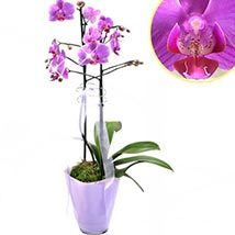 Graceful Orchid Plant