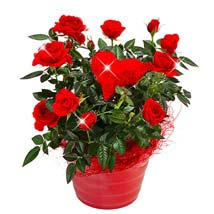 Red Rose in a pot: Just Because