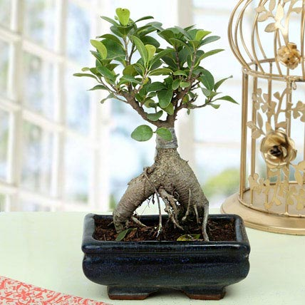 Appealing Ficus Ginseng Bonsai