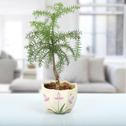 Araucaria Bonsai Plant
