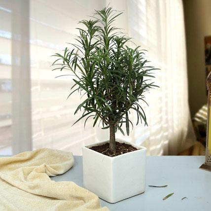 Classic Podocarpus Bonsai