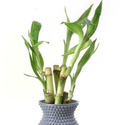 Energizing Bamboo Plant