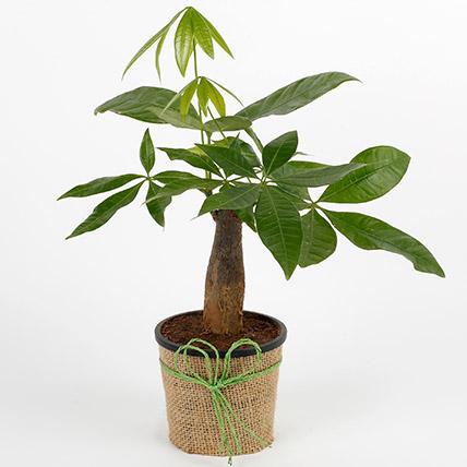 Lucky Pachira Bonsai Plant