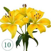 10 Blooms of Yellow Lilies OM: