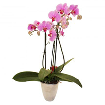 Elegant Orchid: Flower Bouquets to UK