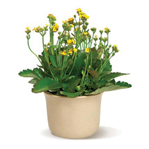 Charming Kalanchoe: Birthday Gifts Raleigh